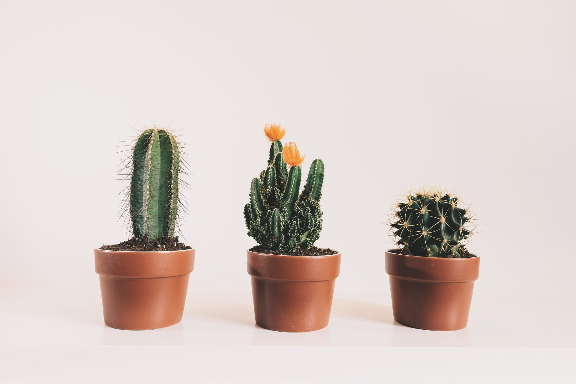 three potted cactus plants
